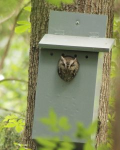 Screech Owl in Nesting Box (Photo by Mitchell Halcomb)