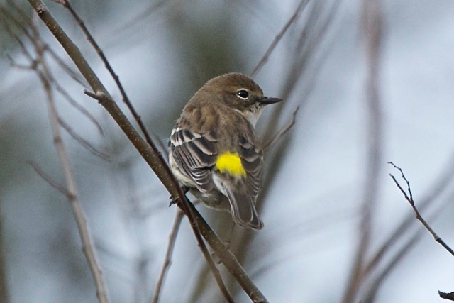 yellow-rumped-warbler-displaying-his-butter-butt