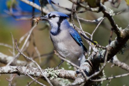 Blue Jay Breakfast near the Guest Center