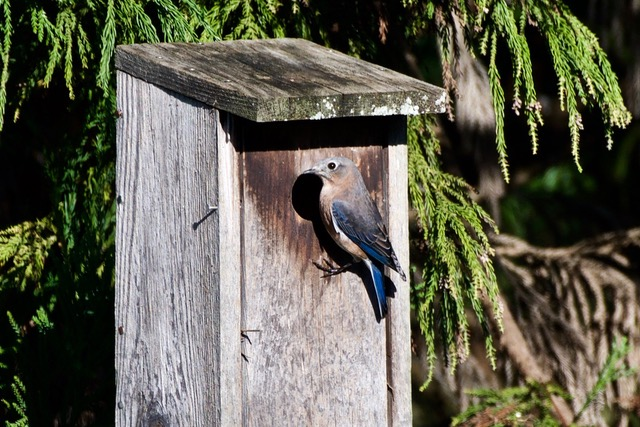 Eastern Blue Bird Female - checking out a nest box