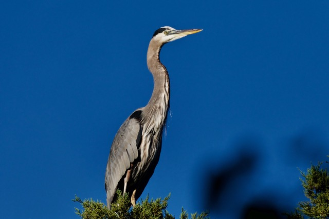 Great Blue Heron - Aquatic Garden