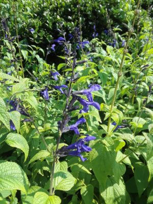 Salvia guaranitica, 'Black & Blue' Salvia (Located in the Annual Garden)