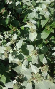blunt mountain mint