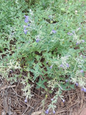 Catmint, Nepeta x faasenii (Located midway in the Four Seasons Garden and Kitchen Garden)