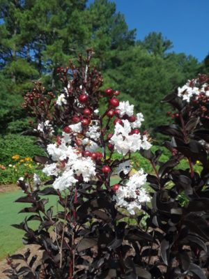Lagerstroemia indica 'Ebony and Ivory' (Located in the Annual Garden)