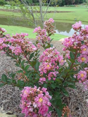 Lagerstroemia x BARISTA® 'Frappe Pink' (Located between the lakes)